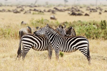 Zebras on the Masai Mara in southwestern Kenya. photo
