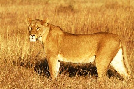 A lion (Panthera leo) on the Maasai Mara National Reserve safari in southwestern Kenya. photo