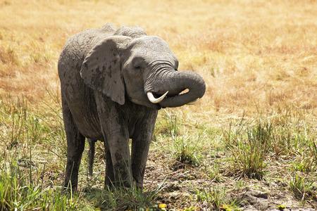 maasai mara: Un Elefante (Loxodonta) il Maasai Mara National Reserve safari in Kenya sud-occidentale.