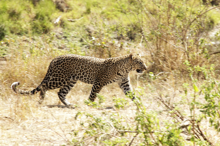 A leopard (Panthera pardus) on the Masai Mara National Reserve safari in southwestern Kenya. photo