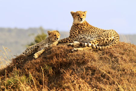 A cheetah (Acinonyx jubatus) and cheetah cub on the Masai Mara National Reserve safari in southwestern Kenya. 免版税图像