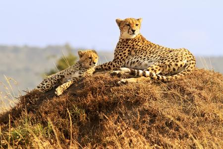 jubatus: A cheetah (Acinonyx jubatus) and cheetah cub on the Masai Mara National Reserve safari in southwestern Kenya. Stock Photo