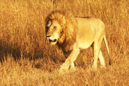 panthera leo: A lion (Panthera leo) on the Maasai Mara National Reserve safari in southwestern Kenya.
