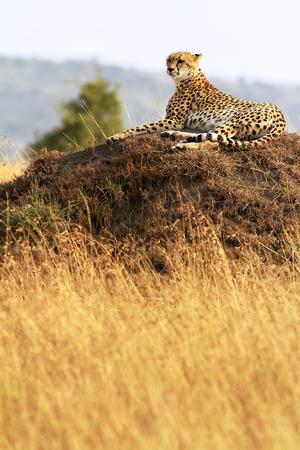 jubatus: A cheetah (Acinonyx jubatus) on the Masai Mara National Reserve safari in southwestern Kenya.