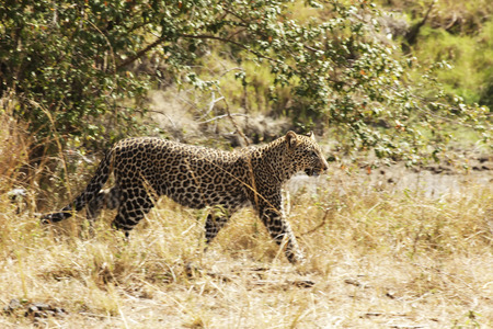 A leopard (Panthera pardus) on the Masai Mara National Reserve safari in southwestern Kenya (Slight pan and blur). photo