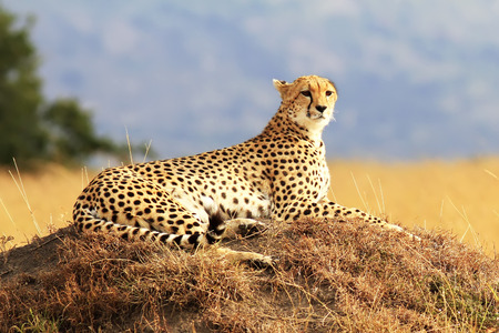 A cheetah (Acinonyx jubatus) on the Masai Mara National Reserve safari in southwestern Kenya. photo