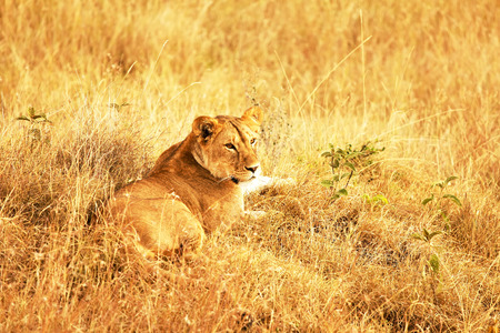 maasai mara: Un leone (Panthera leo) il Maasai Mara National Reserve safari in Kenya sud-occidentale.
