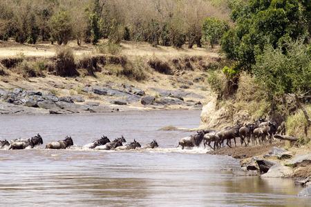 buffalo grass: Wildebeest (Connochaetes) cross a river while migrating on the Maasai Mara National Reserve safari in southwestern Kenya.