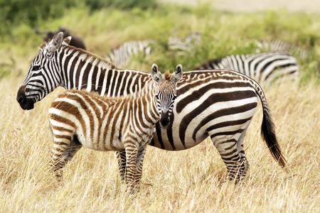 masai mara: Zebra foal with mother on the Masai Mara in southwestern Kenya. Stock Photo