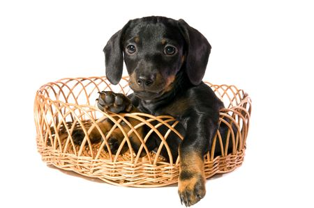 The black dog  dachshund lays in a basket on white background isolated photo