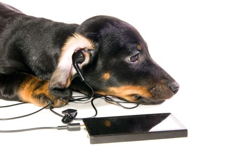 The black dog dachshund lays and listens to music through mp3  player closeup photo