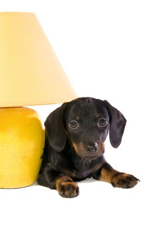 lays: Black dog Lays with a yellow lamp on white background isolated