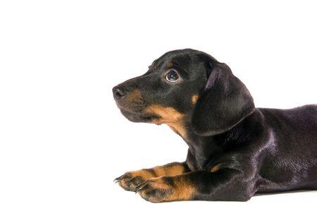 Black dog Lays and looks upwards  on white background isolated photo