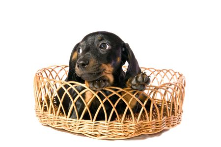 lays: The black dog  dachshund lays in a basket on white background isolated