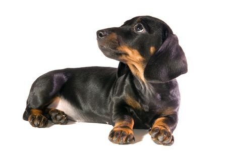 Black dog Lays and looks upwards on white background isolated