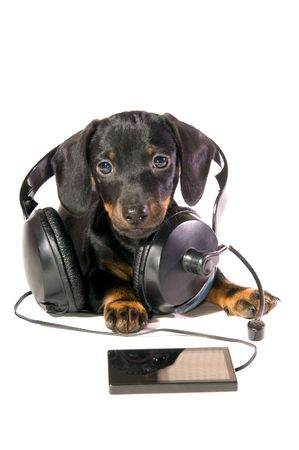 The black dog dachshund lays and listens to music through mp3  player photo