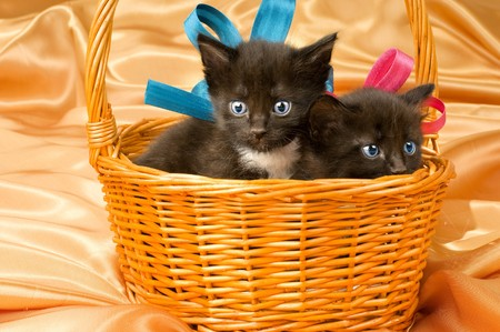 defenseless: two black beautiful fluffy little kitten,in basket on gold background