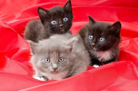 diminutive: two black and one gray beautiful fluffy little kittens,  on red background cloth