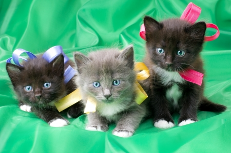 diminutive: two black and one gray beautiful fluffy little kittens,  on green background cloth  Stock Photo