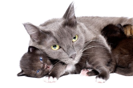 diminutive: the mum-cat  embrace with  little kittens, lie on white bakground, isolated