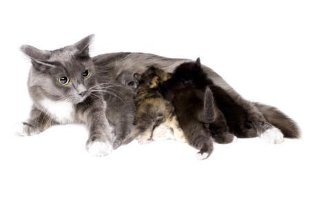 lactation: the mum-cat  breast-feeding her little kittens, lie on white bakground, isolated Stock Photo