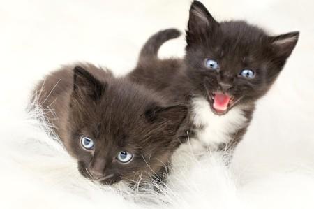 two black beautiful fluffy little kittens,  onwhite fur, yell photo
