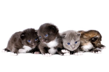 Four beautiful fluffy little kittens, lie on white background, isolated Stock Photo - 7701977