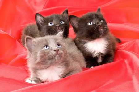 defenseless: two black and one gray beautiful fluffy little kittens,  on red background cloth