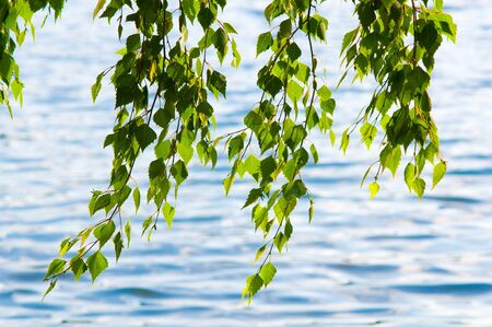 leafage: the beauty green leafage birch hang over water, nature outdoor
