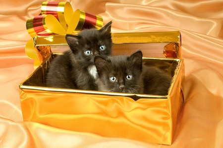 defenseless: two beautiful fluffy little kittens,in gold box-gift on gold background-cloth Stock Photo