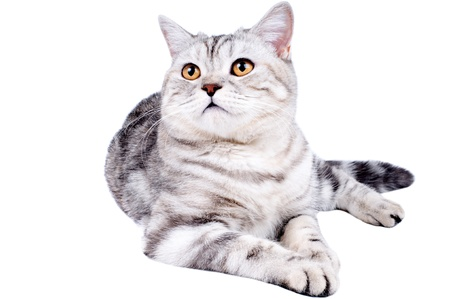 racy: fluffy gray beautiful adult cat, breed scottish-straight,   on white  background, isolated