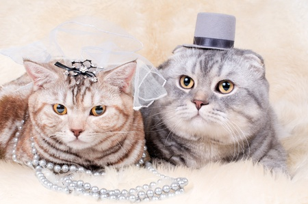 fluffy  beautiful adult cat, wedding couple breed scottish-straight and scottish-fold,  group  on white fur background  photo