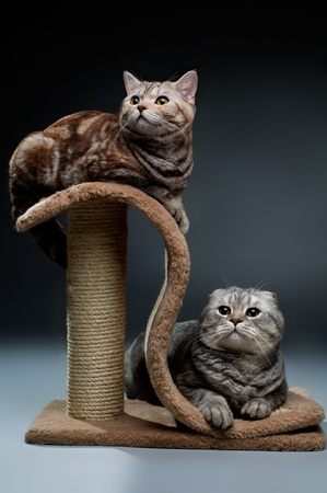 fluffy  beautiful adult cat, breed scottish-straight and scottish-fold,  group  on dark background Stock Photo - 8458785