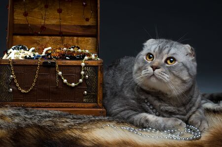 luxuriance: fluffy gray beautiful adult cat, breed scottish-fold,  portrait  on dark  background   Stock Photo