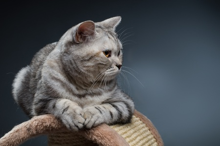 fluffy gray beautiful adult cat, breed scottish-straight, on dark blue  background   Stock Photo - 8458786