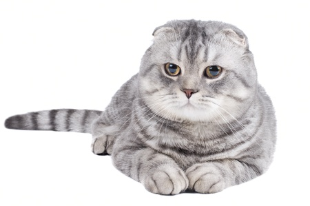 fluffy gray beautiful adult cat, breed scottish-fold,  close portrait  on white  background, isolated   photo