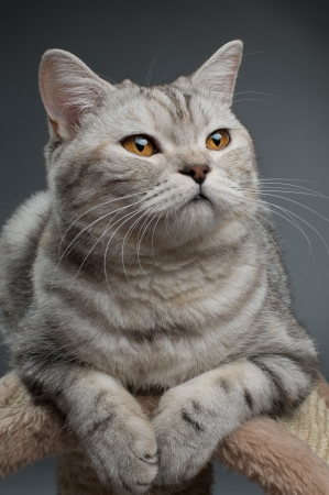 gray cat: fluffy gray beautiful adult cat, breed scottish-straight,  close portrait  on dark  background   Stock Photo
