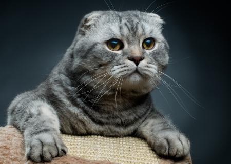 fluffy gray beautiful adult cat, breed scottish-fold,  close portrait  on dark  background Stock Photo - 9003293