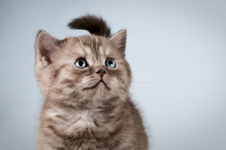 fluffy brown beautiful kitten, breed scottish-straight,  close portrait  on dark  background   Stock Photo - 9208990