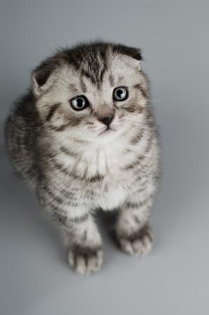 fluffy gray beautiful kitten, breed scottish-fold,  close portrait  on grey  background , focus on face , lamentably look Stock Photo - 9209656