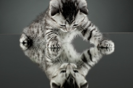 fluffy gray beautiful  kitten, breed scottish-straight,  stay on glass mirror,   on grey background  , look on himself Stock Photo - 9209754
