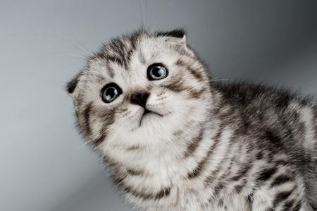 fluffy gray beautiful kitten, breed scottish-fold,  closeup  portrait  on grey  background ,  lamentably look up Stock Photo - 9209789