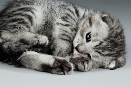 fluffy gray beautiful kitten, breed scottish-fold,  closeup  portrait  on grey  background Stock Photo - 9209807