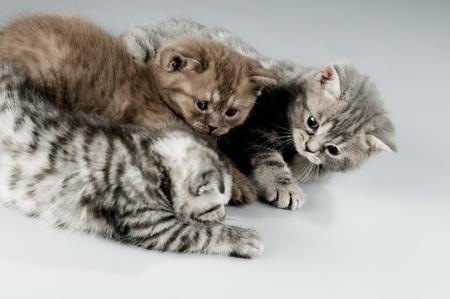 three fluffy  beautiful  kitten, breed scottish-straight,  play on grey background Stock Photo - 9209247