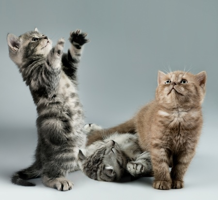 three fluffy,  gray and brown,  beautiful  kitten, breed scottish-straight, lie and  play   on grey background , look up Stock Photo - 9208450