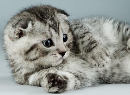 fluffy gray beautiful kitten, breed scottish-fold,  closeup  portrait  on grey-blue  background ,  look stare Stock Photo - 9209805