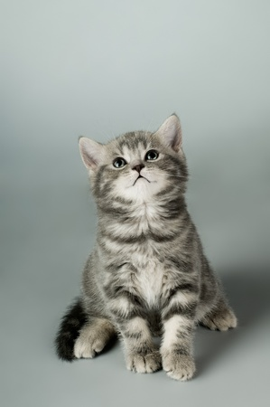 fluffy gray beautiful kitten, breed scottish-stright,  close portrait  on grey  background , focus on face , lamentably look Stock Photo - 9209777