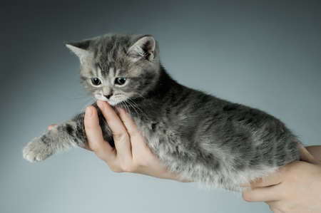 fluffy gray beautiful kitten  in hands, breed scottish-fold,  closeup  portrait  on grey  background Stock Photo - 9209806