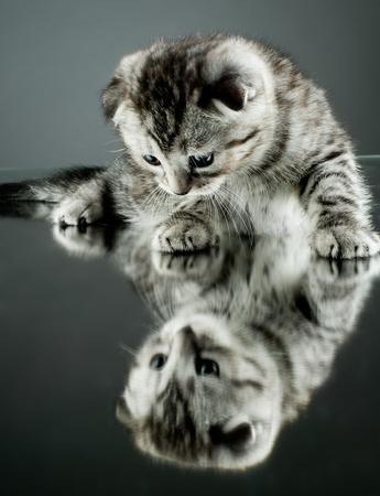 racy: fluffy gray beautiful  kitten, breed scottish-straight,  stay on glass mirror,   on grey background  , look on himself