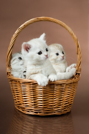 kitten small white: group of white beautiful fluffy little kittens, in basket on brown background